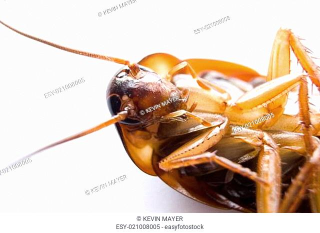 Head Cockroach Stock Photos And Images Age Fotostock