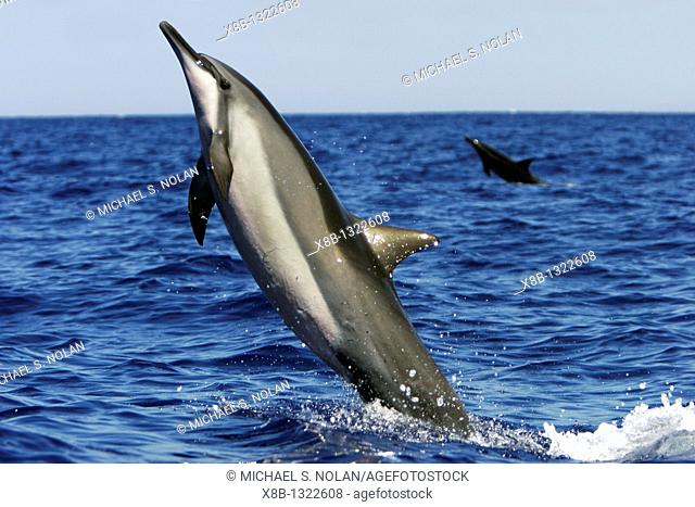 Adult Hawaiian Spinner Dolphin Stenella longirostris head-slapping possibly to remove the remora attached to its chest in the AuAu Channel between Maui and...