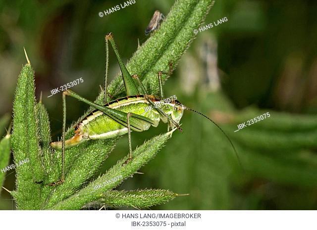 Katydid or Bush-cricket (Poecilimon jonicus), female, Makrigialos, Greece, Europe