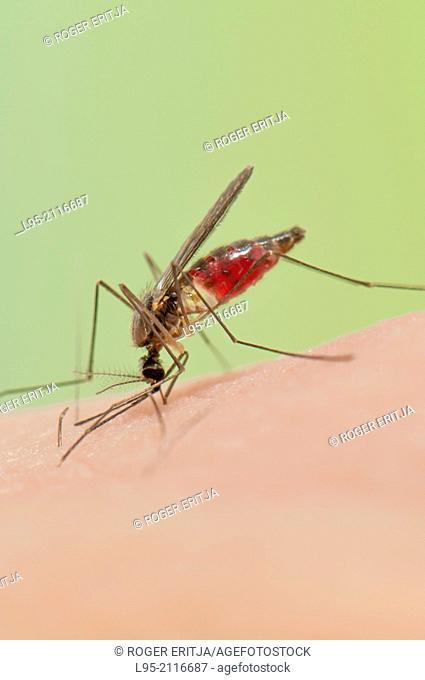 Anopheles plumbeus mosquito female biting on human skin