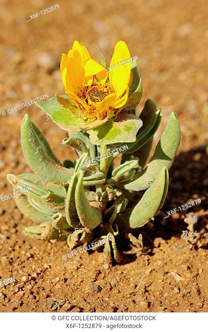 Didelta carnosa in habitat, Perdeblom, Richtersveld, South Africa