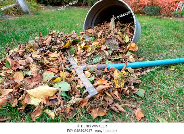 a heap of leaves swept together with a rake on a meadow in the garden. the leaves go into a bucket