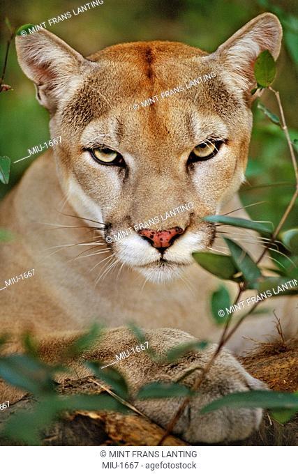 A Cougar, Puma concolor, head and shoulders. Belize