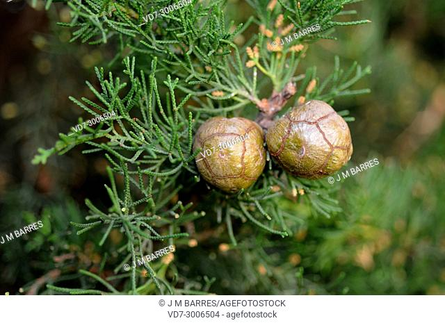 Mediterranean or Italian cypress (Cupressus sempervirens) is a evergreen tree native to eastern Mediterranean region. Mature cones and scale-like leaves detail