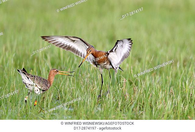 black-tailed godwits (Limosa limosa) fighting in a meadow, Lake Duemmer, Germany