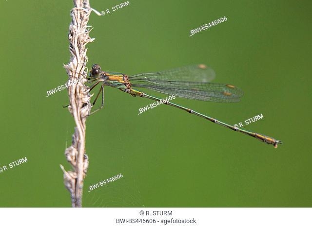 willow mererald damselfly (Lestes viridis, Chalcolestes viridis), resting on a gras ear, Germany, Bavaria