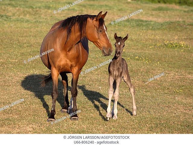 Swedish warmblood foal and mare