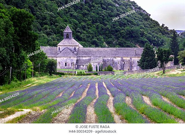 France, Provence region, Gordes City, Senanque Abbey, lavanda fields