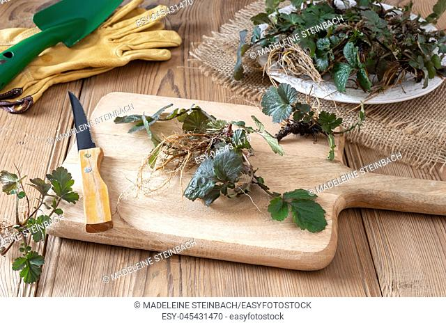 Young Herb Bennet plants with roots on a cutting board