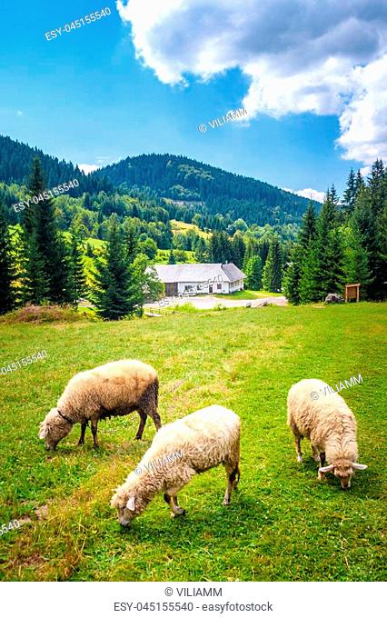 White sheeps grazing on the meadow, The Kysuce region, Slovakia
