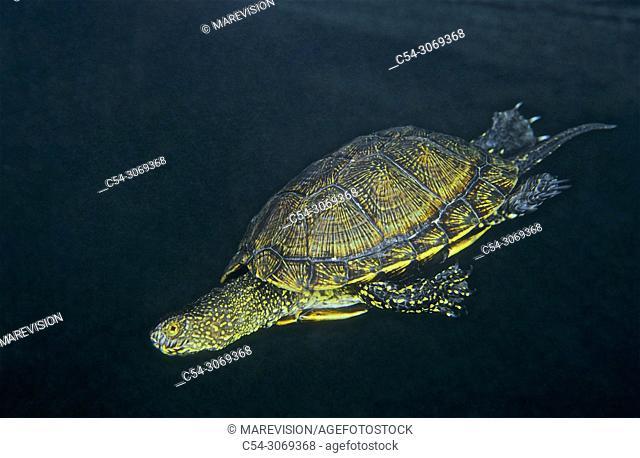 Freshwater Rivers. European pond turtle (Emys orbicularis). Rio Avia. Galicia. Spain. Europe