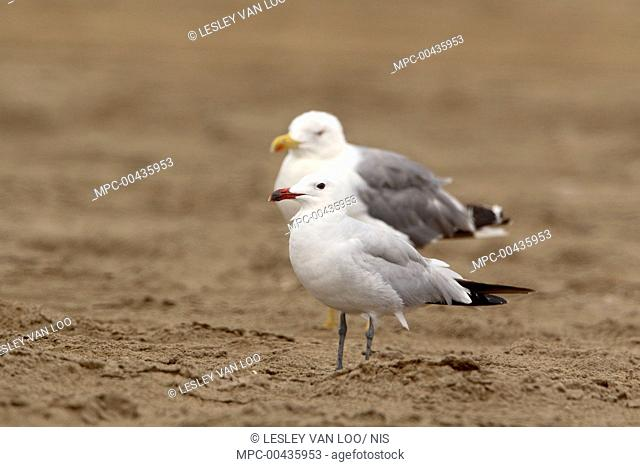 Audouin's Gull (Larus audouinii) with a Caspian Gull (Larus cachinnans), Spain