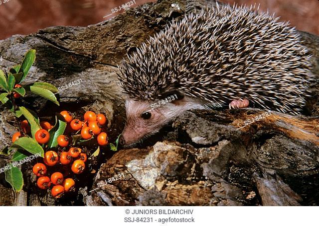 young African hedgehog / Atelerix albiventris