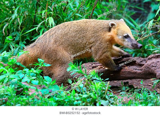 coatimundi, common coati, brown-nosed coati Nasua nasua, climbing on a log