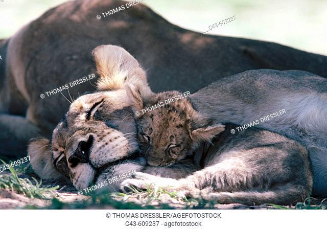 Lions (Panthera leo), Kgalagadi Transfrontier Park (formerly Kalahari-Gemsbok National Park), South Africa