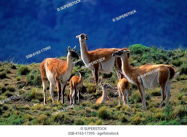 CHILE, TORRES DEL PAINE NAT'L PARK, GUANACOS, FAMILY GROUP WITH BABIES CHULENGOS