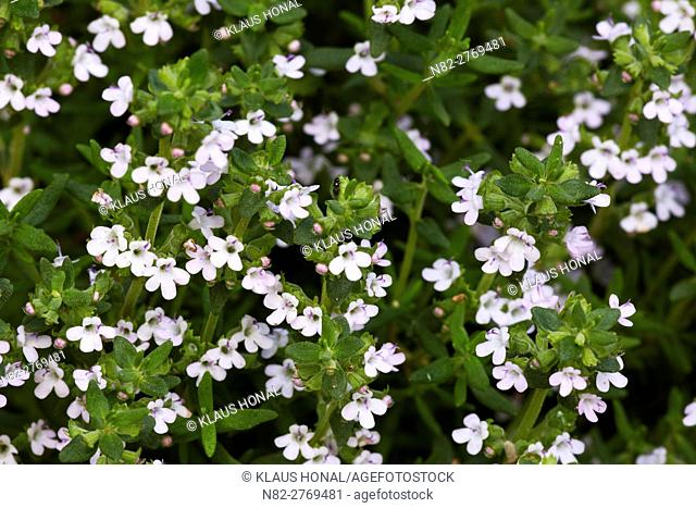 Thyme (Thymus vulgaris) blossoms in the rural garden. Content cloths: Thymolum - Bitter substances - Tanning substances - Ethereal oils - Region Hesselberg
