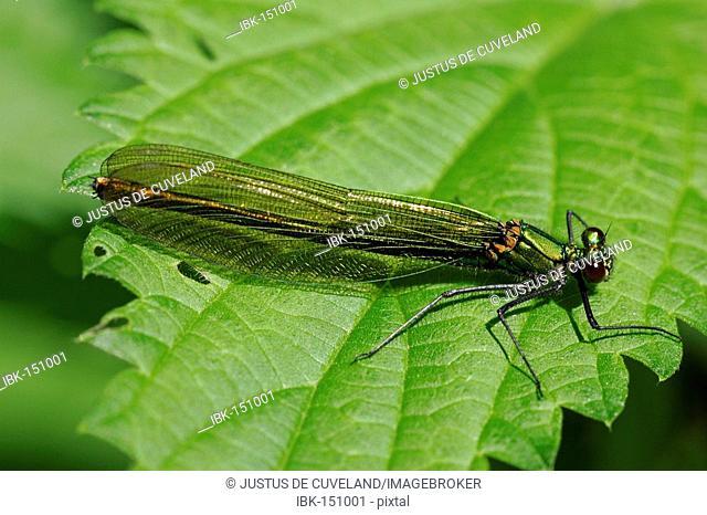Female banded blackwing sitting on a leaf - female banded agrion (Calopteryx splendens) (Agrion splendens)