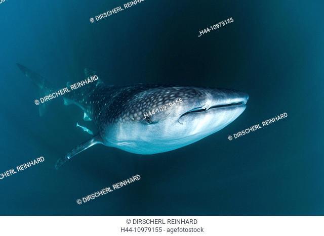 Whale Shark, Rhincodon typus, Triton Bay, West Papua, Indonesia