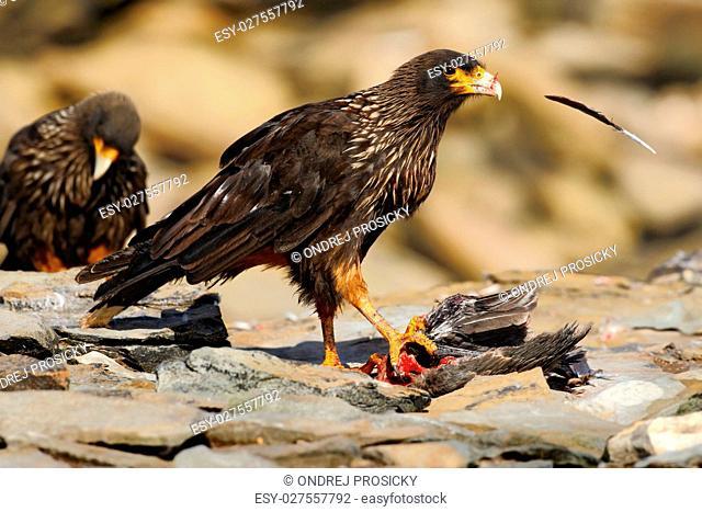 Feeding scene. Birds of prey Strieted caracara, sitting in on th