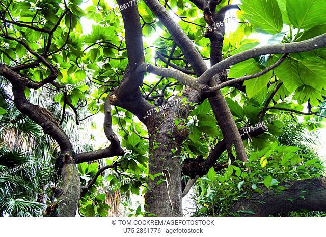 Polypodiaceae tree, botanical gardens, Wanhua, Taipei, Taiwan