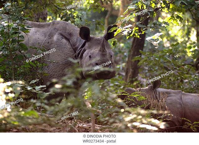 One horned Indian Rhinoceros with calf Rhinoceros unicornis in Dudhwa National Park , Uttar Pradesh , India