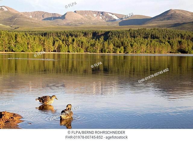 Mallard Duck (Anas platyrhynchos) two adult females, standing at edge of freshwater loch habitat, Loch Morlich, Badenoch and Strathspey, Cairngorms N