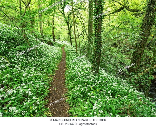 Wild Garlic by Eller Beck in Skipton Castle Woods in Spring Skipton North Yorkshire England