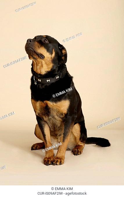 Studio portrait of Rottweiler dog looking up