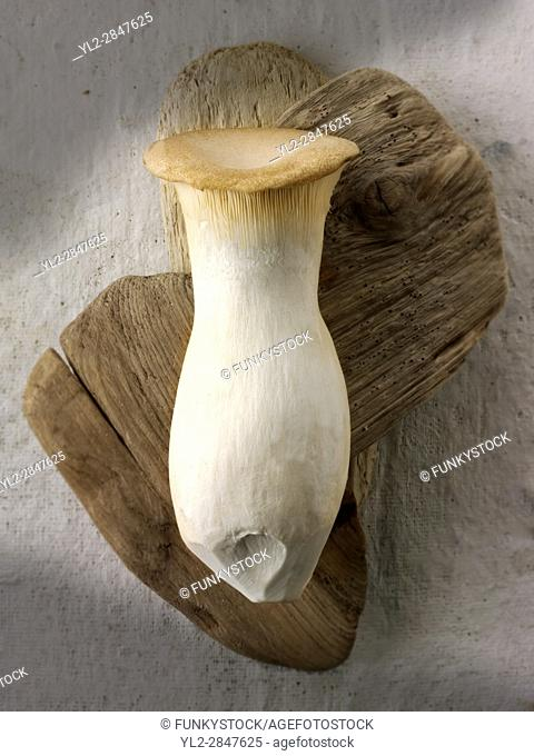 Fresh picked Pleurotus eryngii mushroom , also known as king trumpet mushroom, French horn mushroom, king oyster mushroom, king brown mushroom