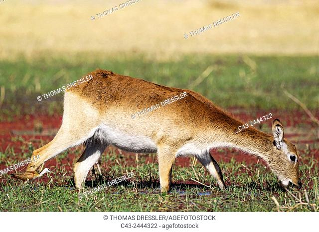 Red Lechwe (Kobus leche leche) - Female, feeding in a freshwater marsh, followed by an African Jacana (Actophilornis africanus)