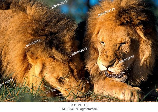 lion (Panthera leo), two males, Namibia