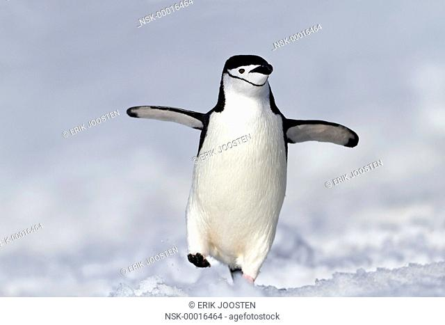 Chinstrap Penguin ( Pygoscelis antarcticu) walking in the snow, Antarctica