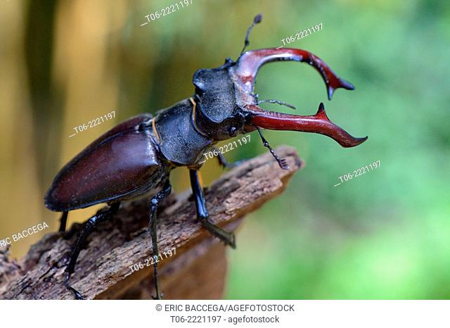 Male stag beetle (Lucanus cervus), Alsace, France, May