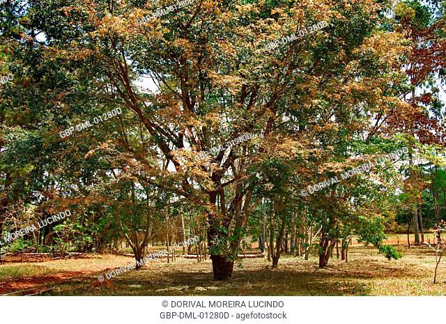 Tree, Copaíba, Distrito Federal, Brasília, Brazil