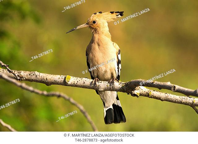 Hoopoe (Upupa epops). Photographed in the Regional Park around the Guadarrama River Madrid