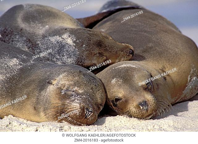 ECUADOR, GALAPAGOS ISLAND, HOOD IS., GARDNER BAY, GALAPAGOS SEA LIONS SLEEPING ON BEACH