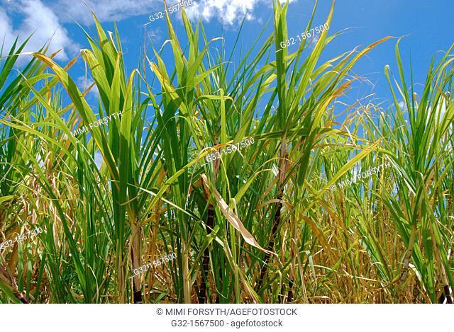 Sugarcane (Saccharum officinarum), Hawaii, USA