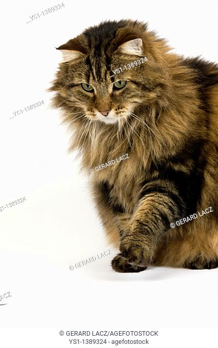 Angora Domestic Cat, Male Playing with Golf Ball against White Background