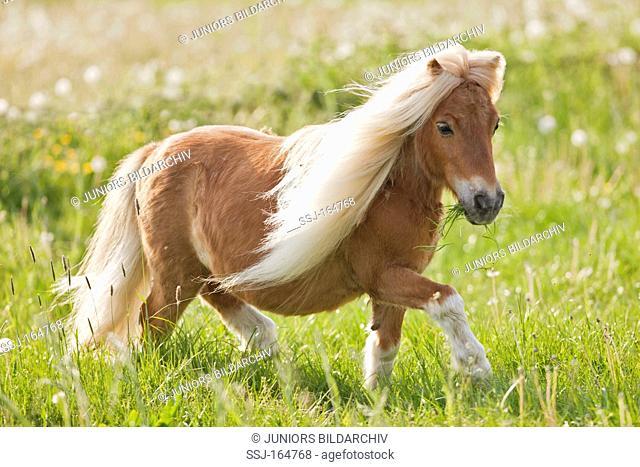Falabella miniature horse - walking on meadow