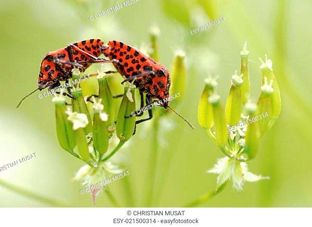 Copulating Graphosoma bugs on flower