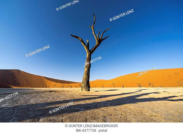 Dead camel thorn (Vachellia erioloba) tree in front of sand dunes, Deadvlei, clay pan, salt pan, Sossusvlei, Namib Desert, Namib-Naukluft National Park, Namibia