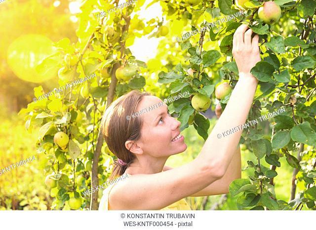 Woman harvesting apples