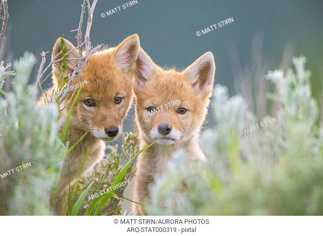 Portrait of two coyote pups hiding in grass looking at camera, Jackson Hole, Wyoming, USA