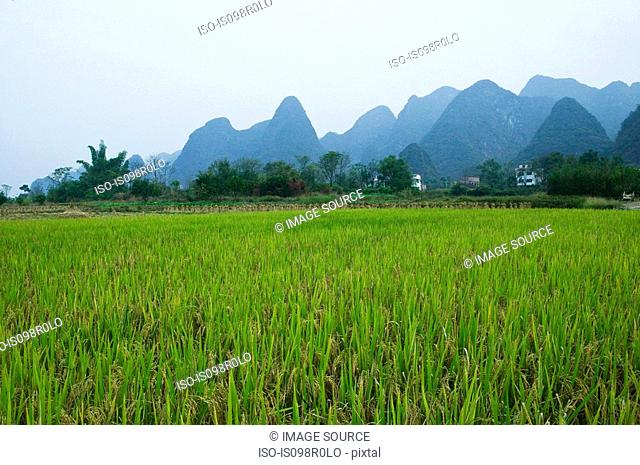 Rice field and limestone peaks yangshuo
