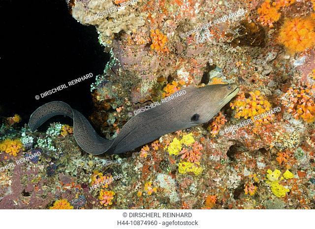 Riesen-Muräne jagt in der Nacht, Gymnothorax javanicus, Maya Thila, Nord Ari Atoll, Malediven, Giant Moray hunting at Night, Gymnothorax javanicus, Maya Thila