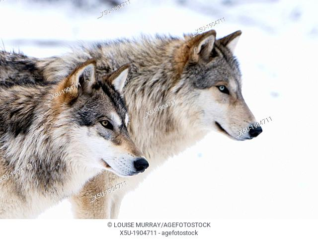 Two sub adult North American Timber wolves, Canis Lupus in snow