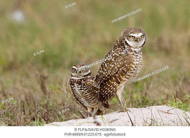 Burrowing Owls, Athene cunicularia