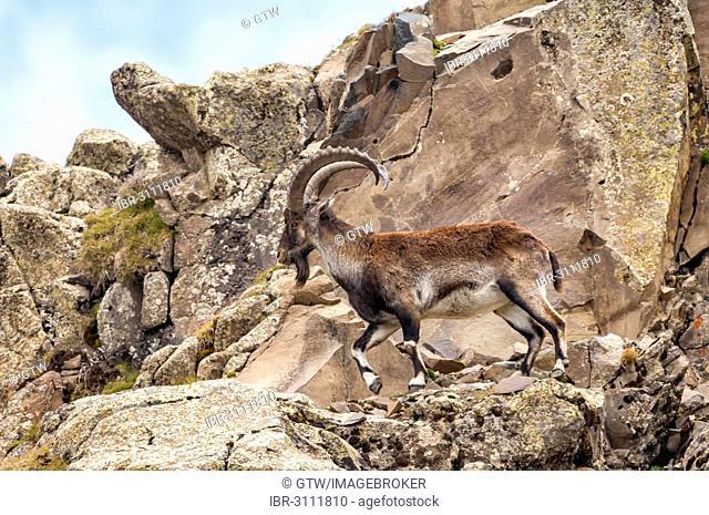 Walia Ibex (Capra walie), Simien Mountains National Park, Amhara Region, Ethiopia