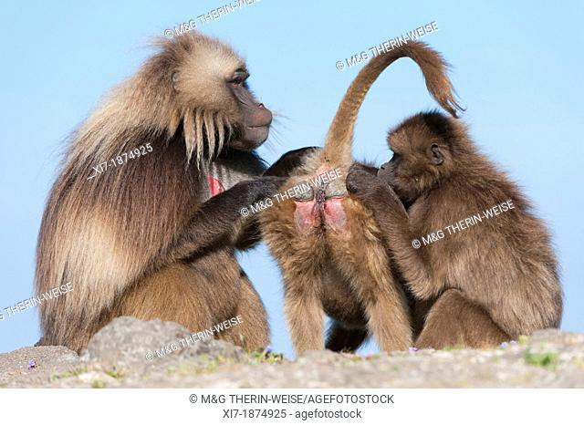 Gelada baboons Theropithecus Gelada grooming each other, Simien mountains national park, Amhara region, North Ethiopia